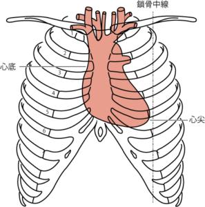 前額面での心臓と胸郭との関係