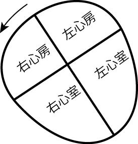 心臓が前額面上を矢状軸で右に回転している図