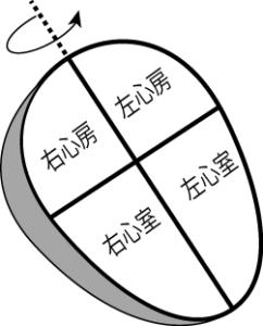 心臓が水平面上を垂直軸で左に回旋している図