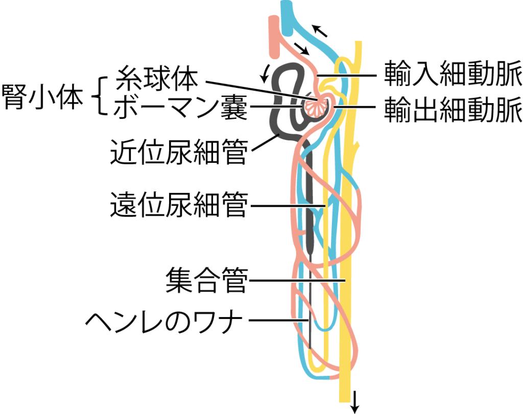 ネフロンと血管