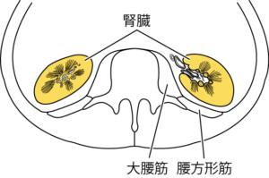 体幹水平断面(第3腰椎の高さ)