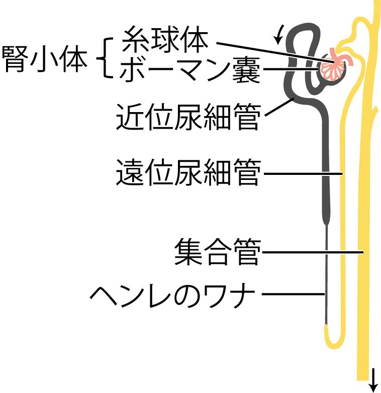 ネフロンの概念図