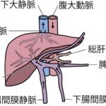 肝臓の血管