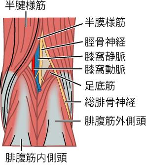 膝窩の構造と膝窩動脈