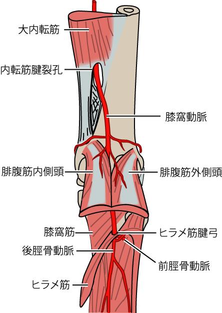 膝窩動脈の走行,内転筋裂孔からヒラメ筋腱弓まで