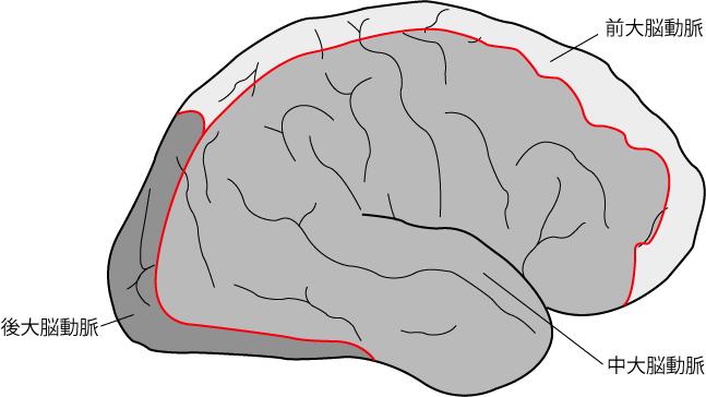 脳の主幹動脈の支配領域