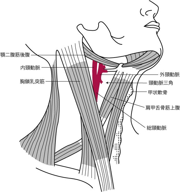 頸動脈三角と総頸動脈