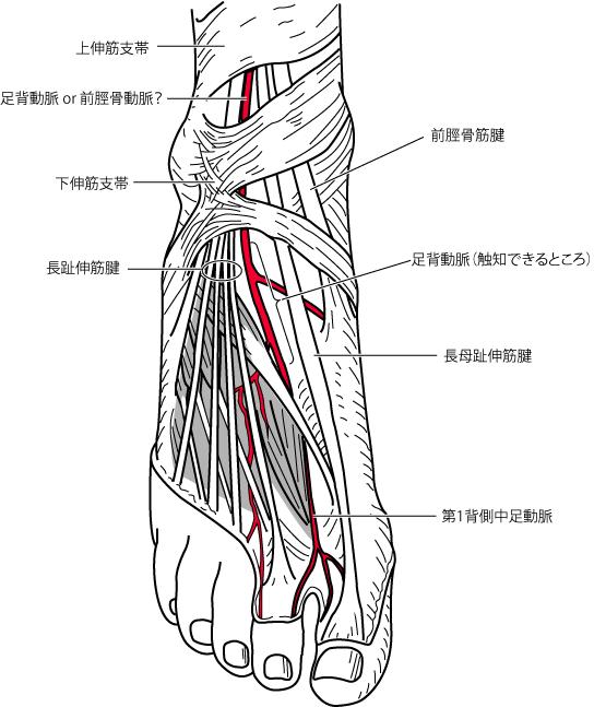 足背動脈の走行