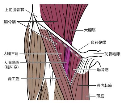 大腿三角と大腿動脈の関係