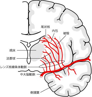 中大脳動脈とレンズ核線条体動脈