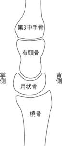 側面(橈側)から見た月状骨