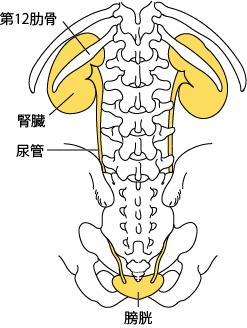 腎臓と骨格の関係(背面)