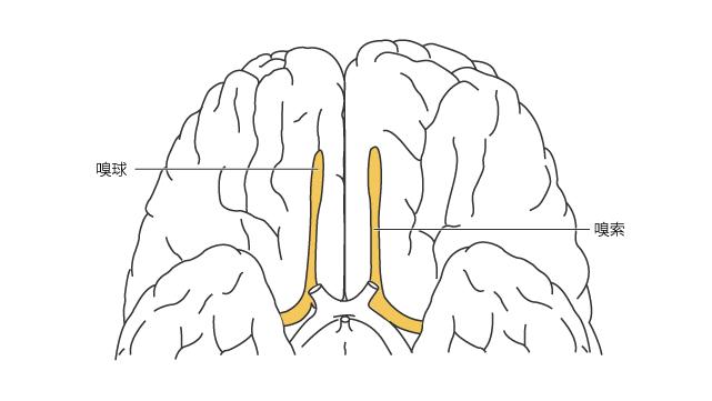 脳底部の嗅球と嗅索