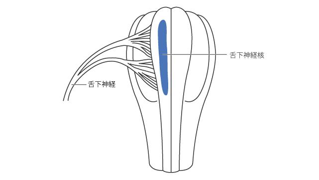 舌下神経核(前額面)