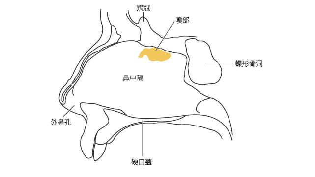鼻腔の内側壁(鼻中隔)における嗅部の位置