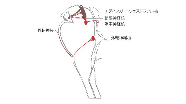 外転神経の起始核と走行