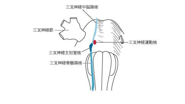 三叉神経の起始核と終止核