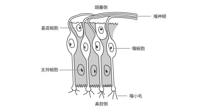 嗅部の粘膜と嗅細胞