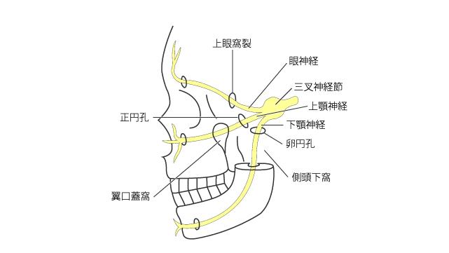三叉神経の走行の概要