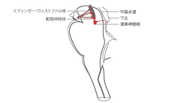 滑車神経起始核の概念図(脳幹の正中断面を内側から見たところ)