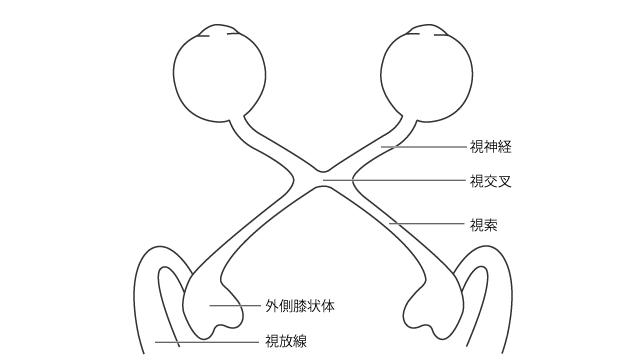 視覚路の概念図