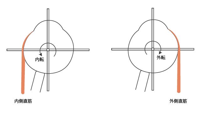 内側直筋と外側直筋の作用