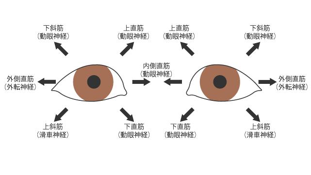 外眼筋の作用