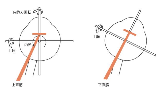 上直筋の検査における筋の走行と運動軸の関係