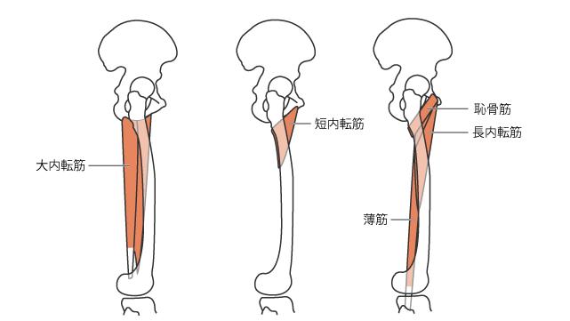 外側から見た矢状面における股関節内転筋の走行