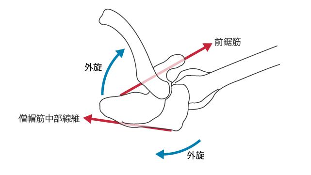 上肢挙上時の,上から見た,前鋸筋と僧帽筋中部線維の作用する方向