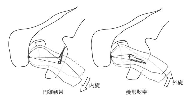 円錐靱帯と菱形靱帯による内・外旋の制限