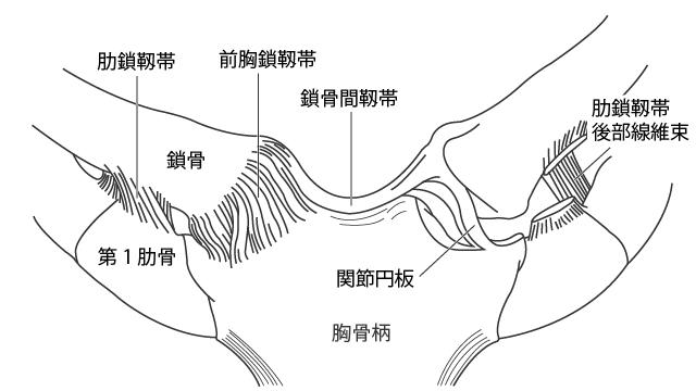 胸鎖関節周囲の結合組織